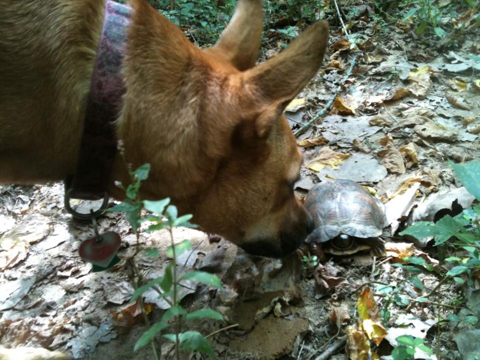 Dog Cleo sniffs a box turtle