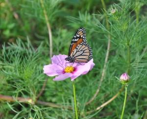 Butterfly alights