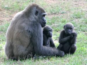 Zoo Atlanta leads research into cardiac care for gorillas.