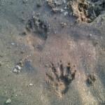 Photo of raccoon tracks at Zonolite Park.