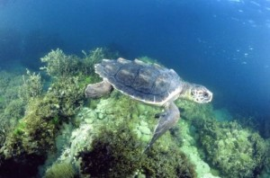 Loggerhead turtles, like the one, crawl ashore to lay eggs in nests along the southeastern coast. Credit: noaa.gov