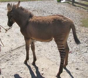 Photo of Pippi the zedonk, a hybrid.