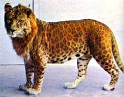 Photo of a leopan