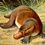 Duck-billed platypus has features of birds and mammals, suggested a cross between species.