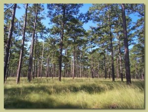 Ichauway Plantation, in Baker County, contained thousands of acres of longleaf pine. Today, the site is part of the Jones Ecological Research Center.