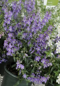 Lavender splashes of Angelonia Carita are to brighten section of Peachtree Road through work planned by the Buckhead CID. Credit: linders.com