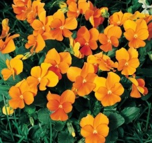 These penny orange violas are to warm the appearance of Peachtree Road through landscaping work planned by the Buckhead CID. Credit: fleursannuelles.com