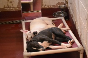 Ruby and Angel sleep on a cot provided in the Fulton County shelter. Credit: LifeLine Animal Project