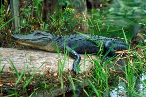 The American alligator is one of the most ecologically dominant species in the Okefenokee Swamp.