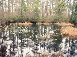 Covering about 700 square miles, the Okefenokee Swamp is the largest in North America. Credit: Georgia Department of Economic Development