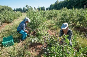 A USDA pilot program will enable blueberries and other produce grown in South America to be imported through the Savannah port after a pest treatment involving cold temperatures before and during transport. Credit: remsberg.com