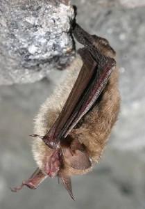 Northeastern long-eared bat