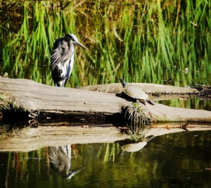 A Blue Heron - for which the Preserve is named (Special from the Blue Heron Nature Preserve)