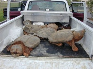 Alligator snapping turtles, sting operation
