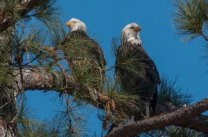 Bald eagles, Berry College, on limb