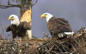 Bald eagles, nesting