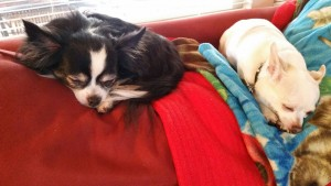 Chevy (left) and Bobby, service chihuahuas.