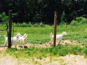 KSU, farm, goats