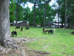 Goat Farm, goats