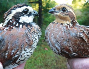 Northern Bobwhite Quail can be relocated to areas where such quail are in short supply. These two birds are a male (left) and female. Credit: attractionmag.com