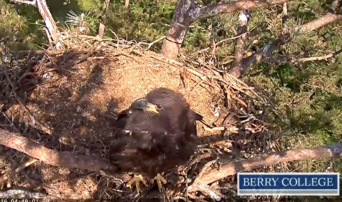 Berry College eagle cam, 2