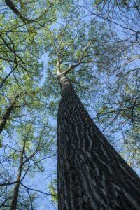 Northern Red Oak, Beecher Hills, Kathryn Kolb