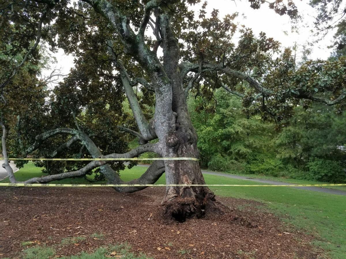 Piedmont Park magnolia tree
