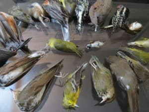 birds killed in collisions