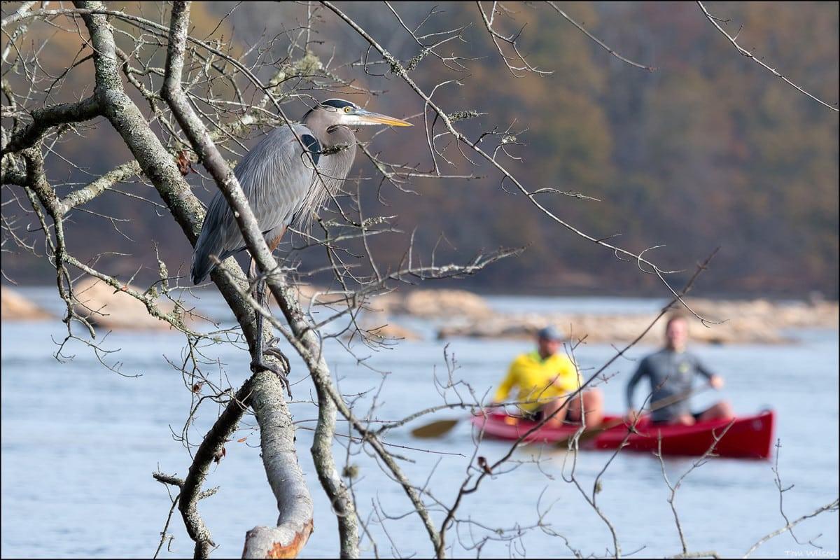 Heron overlooking Canoists