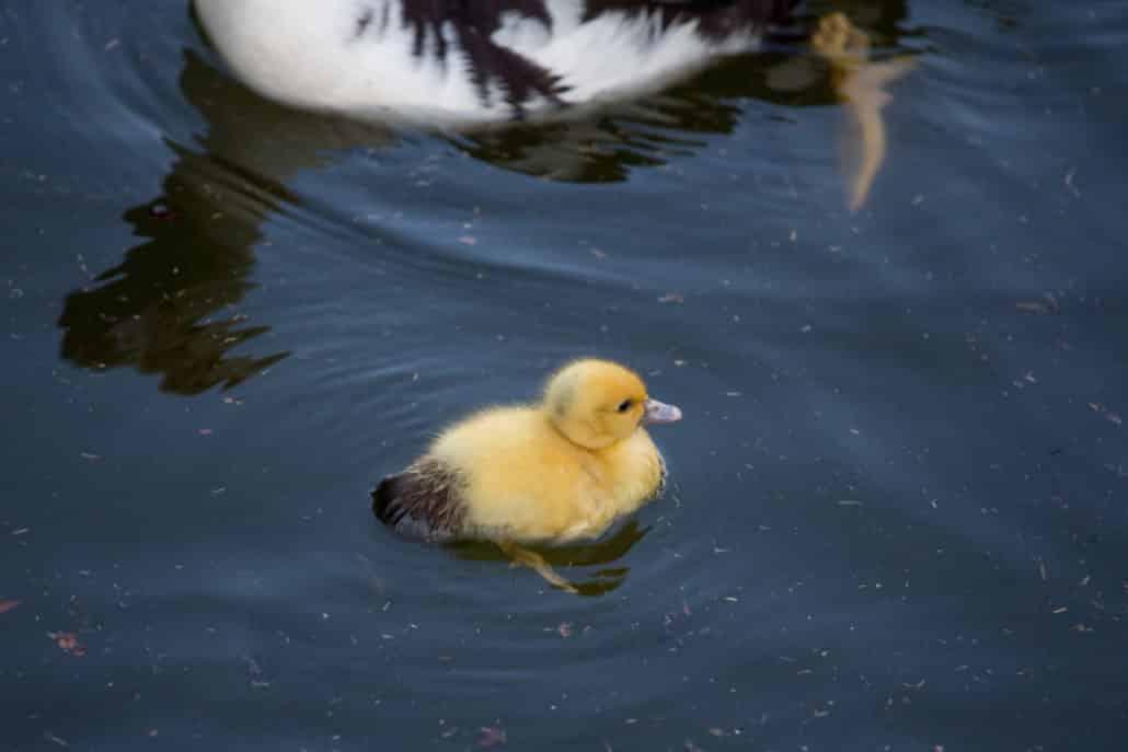 Baby duck at Piedmont Park by Bonnie J Heath Photography