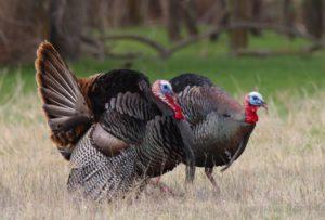 turkeys, profile