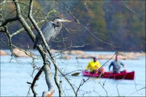 Chattahoochee, heron overlooking Canoists