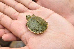 SLS Tiny Turtle Pet Memorial
