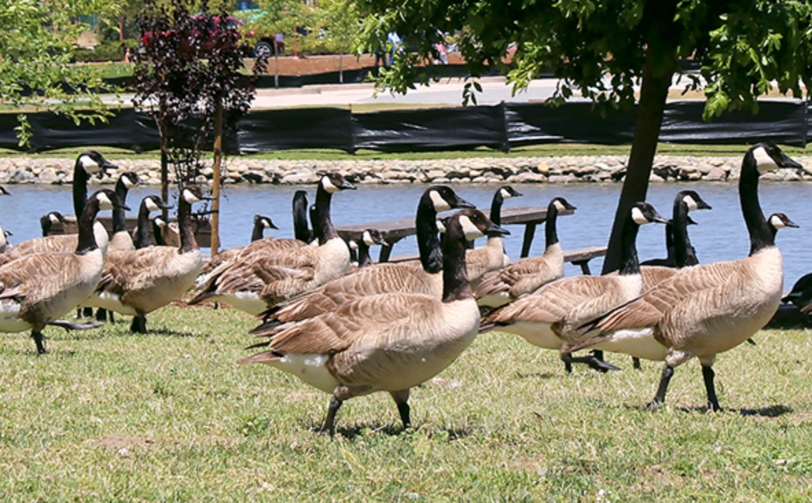 canada geese, flock