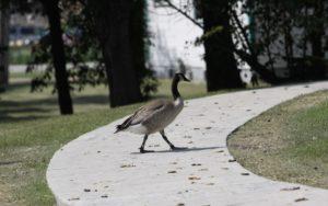 canada goose, droppings
