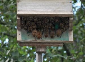 bats in house