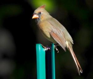 Female cardinal. Credit: Luz Borrero