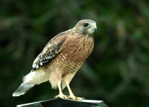 Red-shouldered hawk. Credit: Luz Borrero