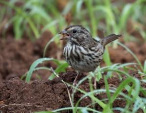 Song sparrow. Credit: Luz Borrero