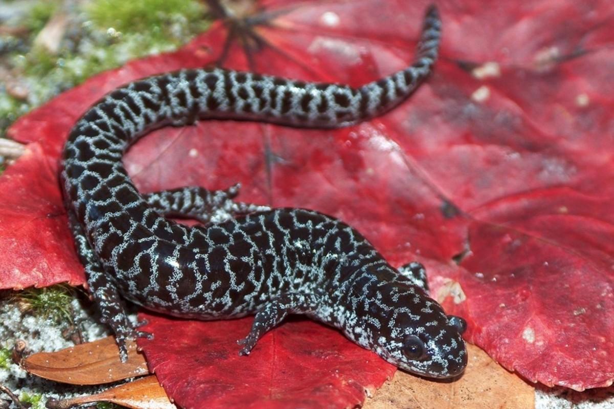 Ambystoma cingulatum, flatwoods salamander