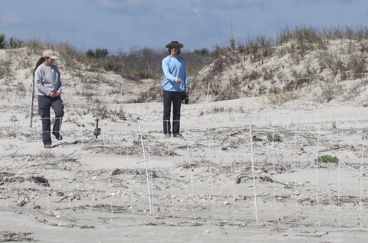 Predator fencing around American oystercatcher nest on Cumberland_Tim Keyes_DNR