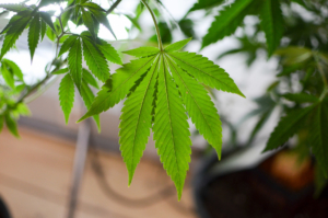 Georgia is a little closer to authorizing hemp than medical cannabis cultivation. Credit: Philip Steffan via Flickr