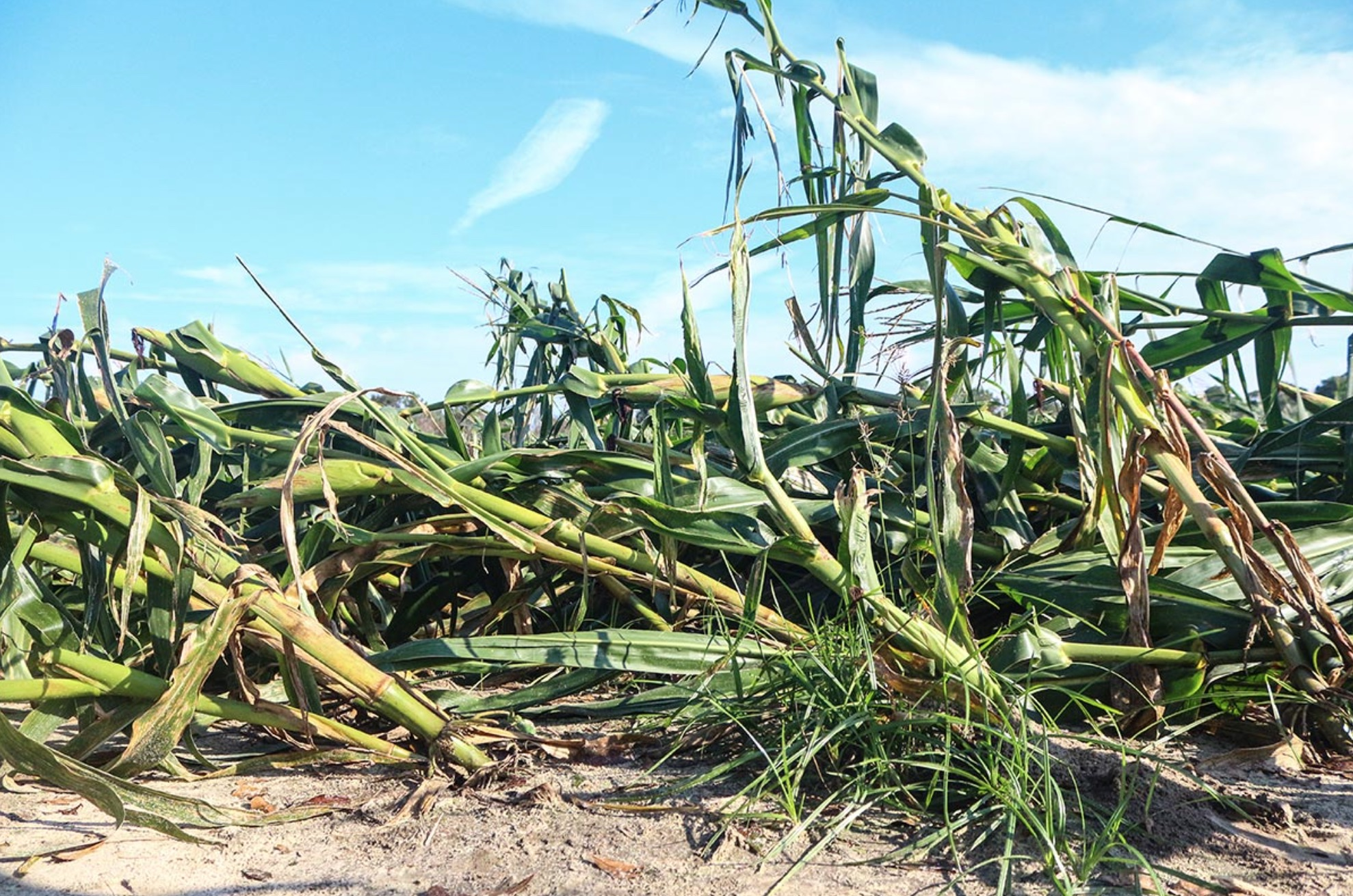 Hurricane Michael, corn