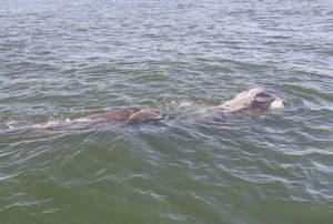 Right whale, calf