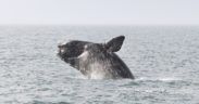 right whale, fisheries.noaa