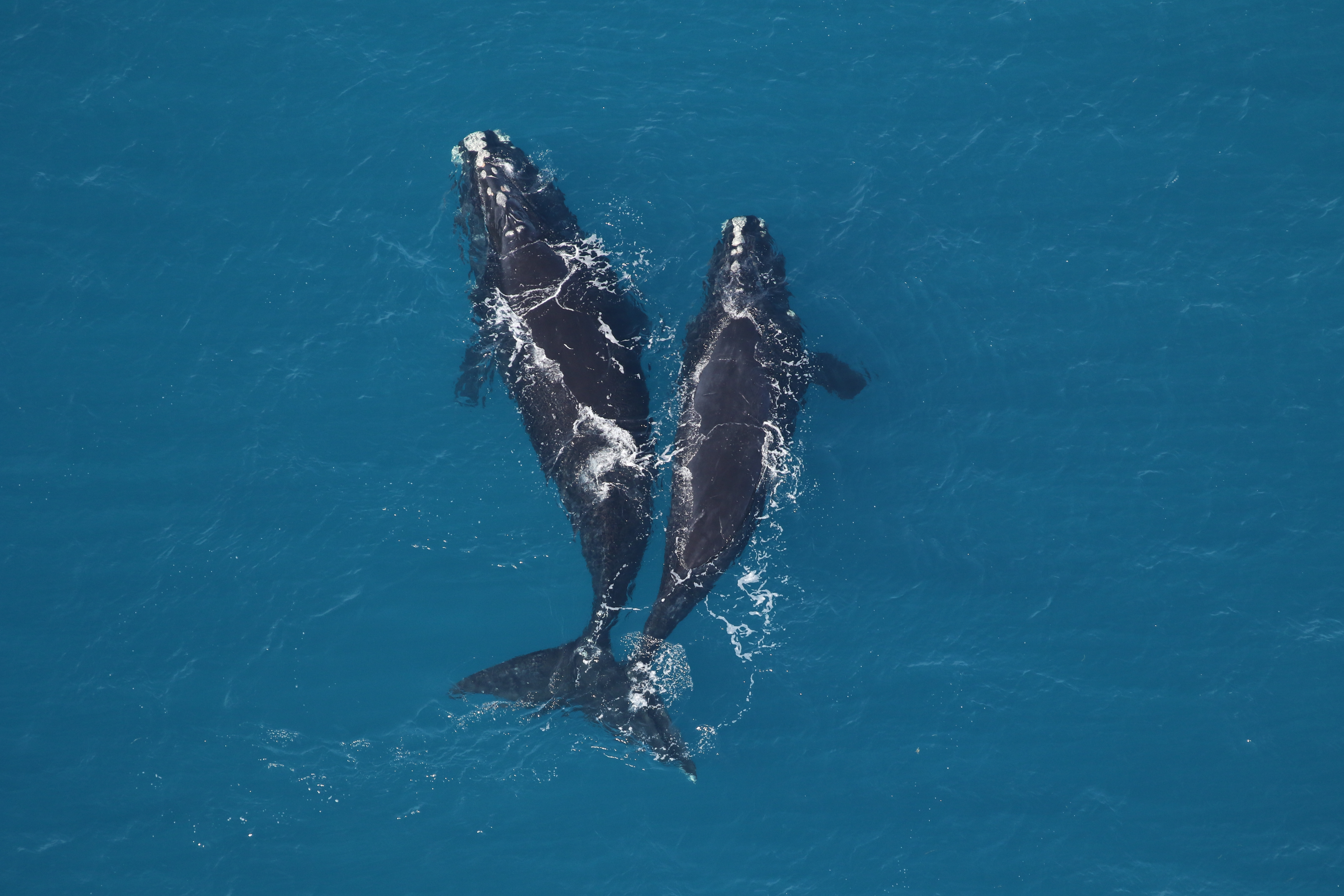 An adult right whale and a juvenile off Georgia's coast (Sea to Shore Alliance_NOAA permit 20556)