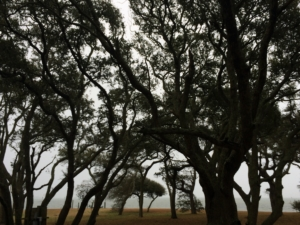 Perspectives, live oak trees, coast