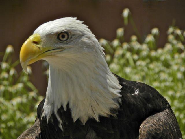 bald eagle headshot