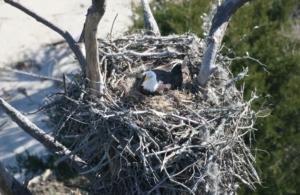 bald eagle on nest, solo