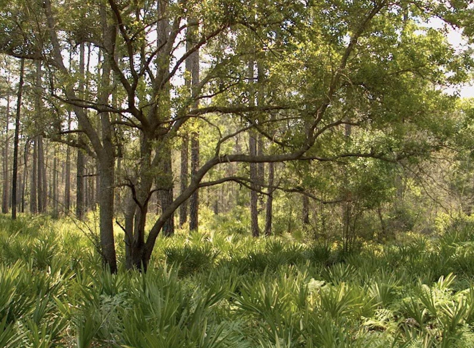 okefenokee, trees